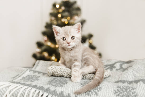 Small cute kitten is sitting on the plaidchristmas tree space picture id1212056055?b=1&k=6&m=1212056055&s=612x612&w=0&h=fc0x9dk3arh7ba9obfs5fdqiwod8bqelr453p5wlc98=