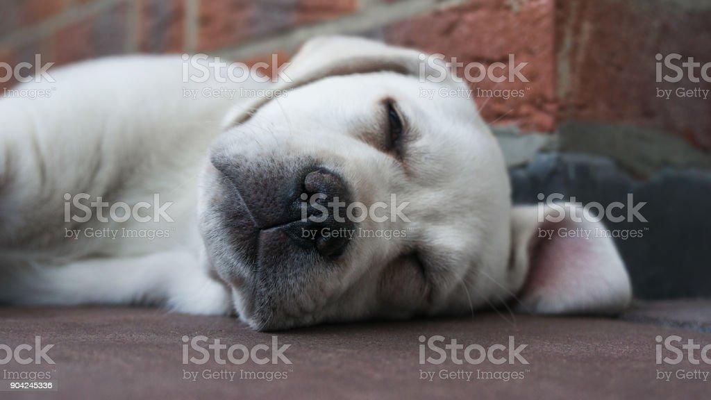 kleinen niedlichen weißen Labrador Retriever Hund Welpen schlafen im freien – Foto