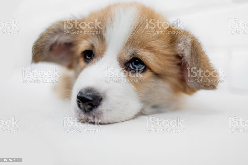 Small Cute Puppy Dog Is Looking At Camera Beautiful Sad Puppy Laying