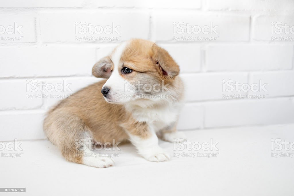 Small Cute Puppy Dog Is Looking Up Studio Shot Of An Adorable Fluffy Puppy Standing On White Background Stock Photo Download Image Now Istock