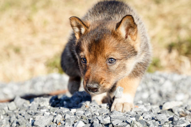 Small cute puppy thoroughbred laika walks on street in the summer. Close up stock photo