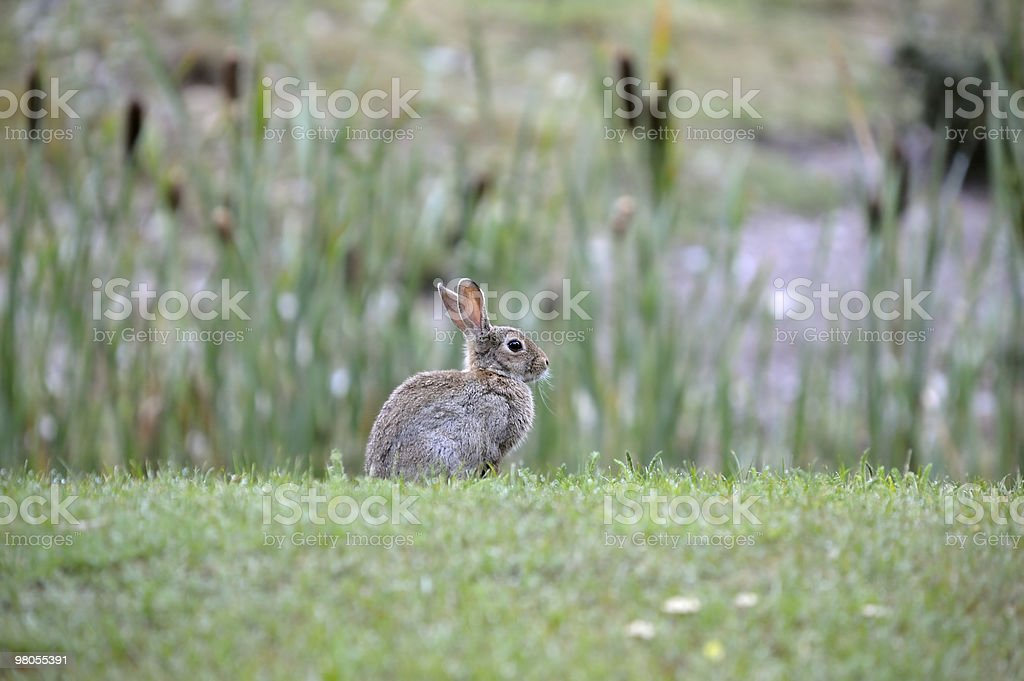 Small cute rabbit in the wild sitting on grass royalty-free stock photo