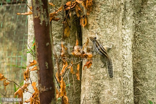 A small cute striped rodents marmots chipmunks squirrel spotted climbing a tree trunk in rainforest wilderness area. Animal in nature behaviour themes. Animals in the wild with autumn background.