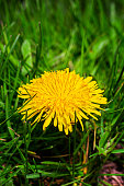close up of a small dandelion flower growing in the grass