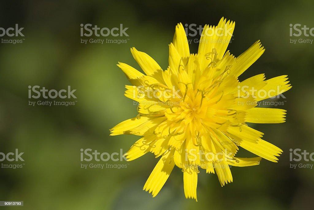 Small Dandelion stock photo