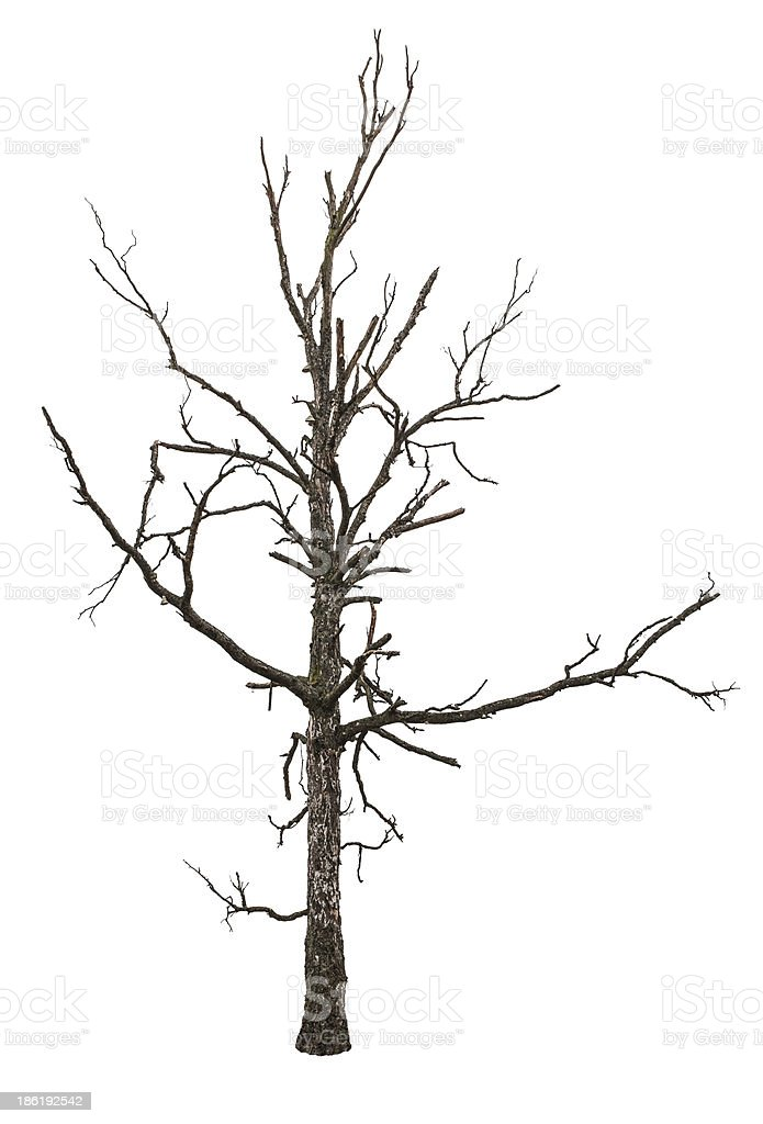 Small dead tree on a white background stock photo