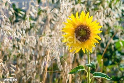 Small decorative bright blooming sunflower on a blurred background stalks of ripe oats