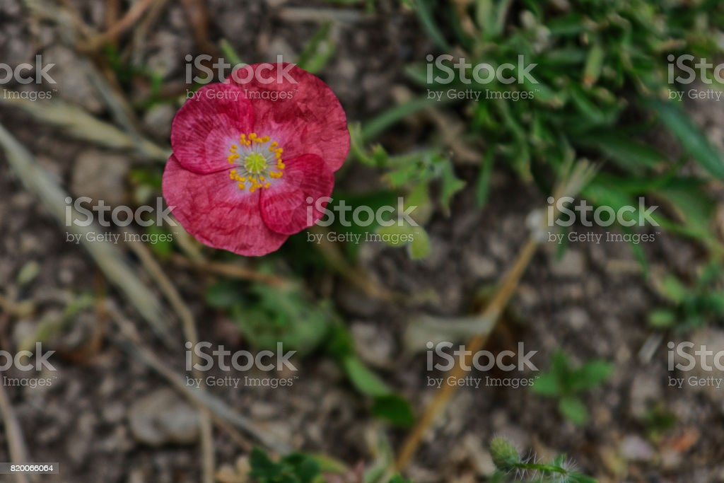 Small delicate fourpetal red flower with yellow and green center small delicate four petal red flower with yellow and green center springs from rocky ground mightylinksfo
