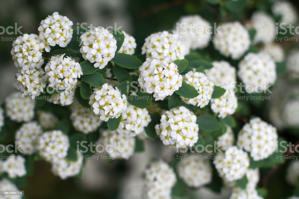 small delicate white flowers background royalty-free stock photo