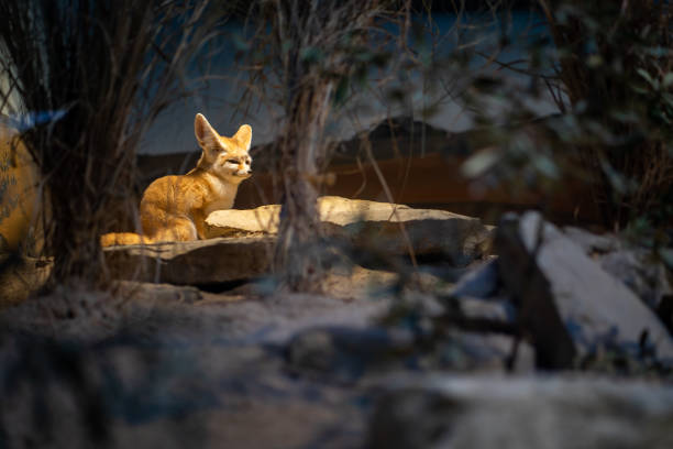 A small desert fox in Frankfurt Zoo stock photo