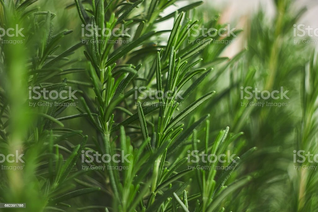 Small detail of rosemary plant royalty-free stock photo