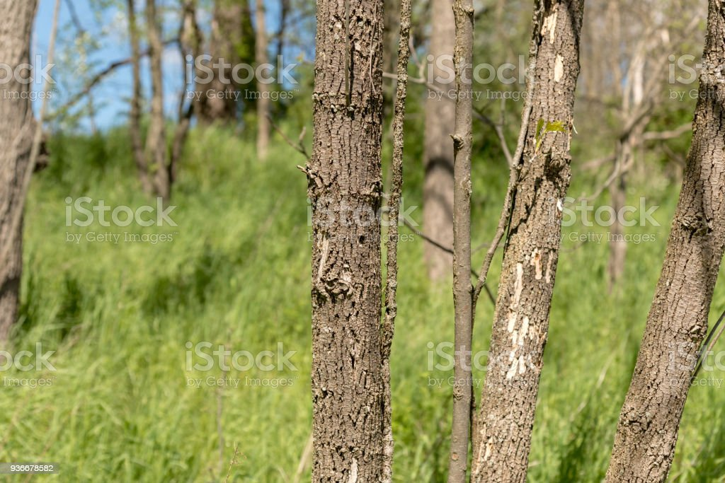 Small Diameter Dead Ash Tree, Emerald Borer, Dendrology Image stock photo