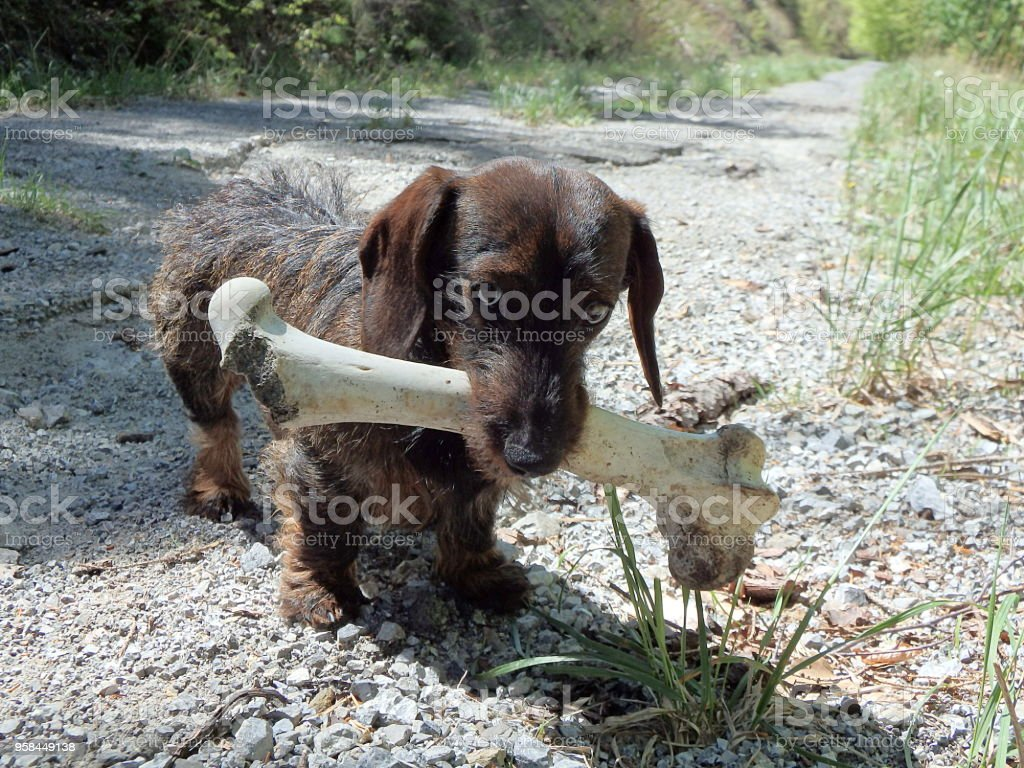Small dog and a large bone stock photo