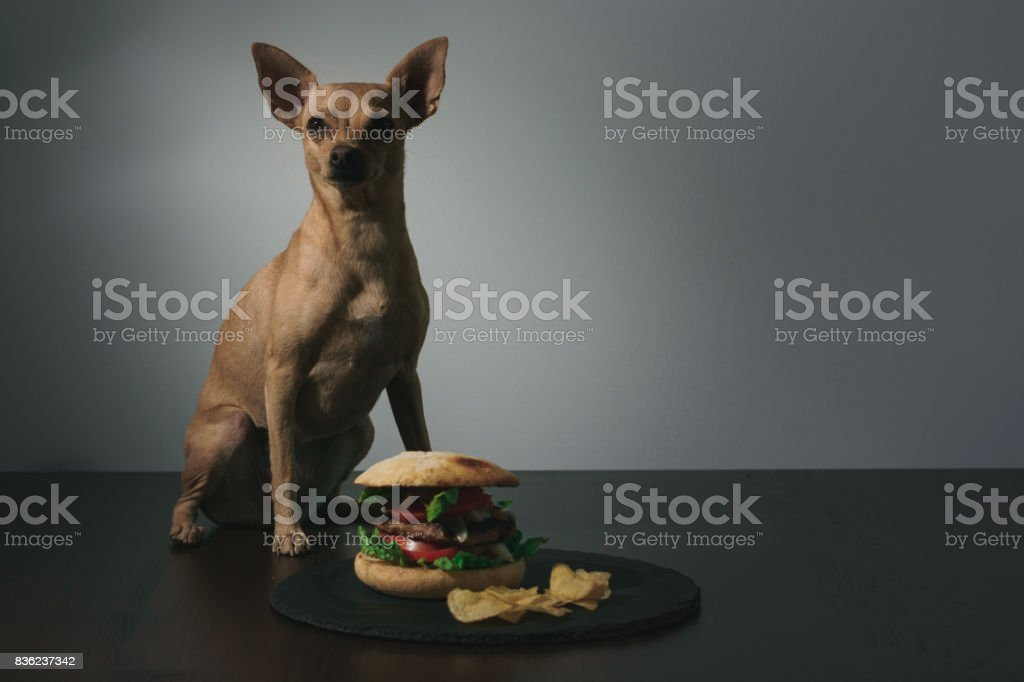 Small dog and burguer stock photo