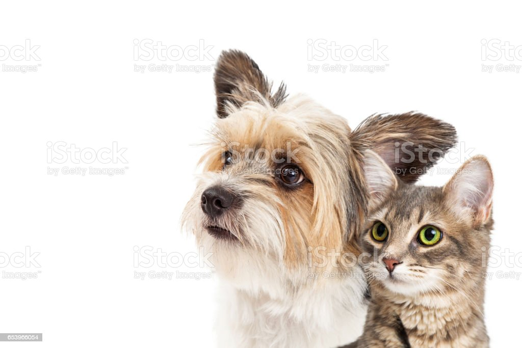 Small Dog and Cat Together Closeup stock photo