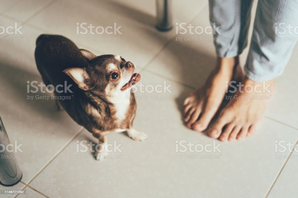 Chihuahua\'s little dog next to its owner\'s feet, lifestyle concept.