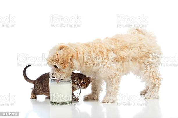 Small dog and kitten craving the same milk picture id460355801?b=1&k=6&m=460355801&s=612x612&h=wumy iifdpmbjkkguiqcqontanzdb9v ddlrstn9rxw=