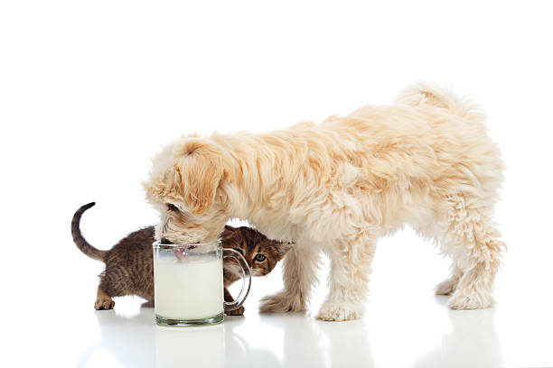 Small dog and kitten craving the same milk picture id460355801?b=1&k=6&m=460355801&s=612x612&w=0&h=scdqju gywy72p6pxweun0uwc01cajs2ynbnbdjtwjw=