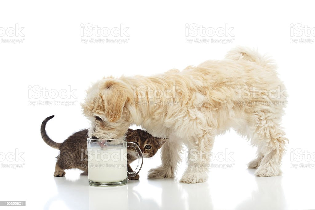 Kleine Hund und Kätzchen Lust auf der Milch – Foto