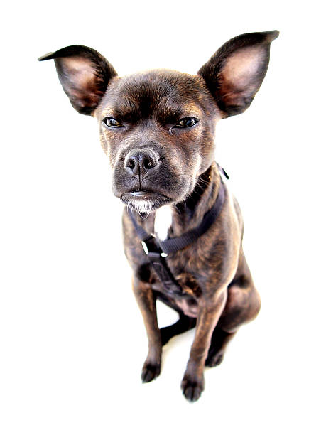 Small dog angry stock photo