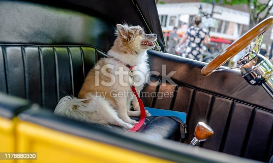A little shaggy dog as a real driver proudly sits in the driver's seat of an old retro car at a vintage car exhibition in a small town, attracting visitors to the exhibit of his owner