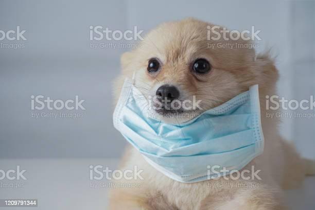 Small dog breeds or pomeranian with brown hairs crouch or lying down picture id1209791344?b=1&k=6&m=1209791344&s=612x612&h=f1jm7fpunkt1rbkvlkjccrnmft40ob goupqejpwreo=
