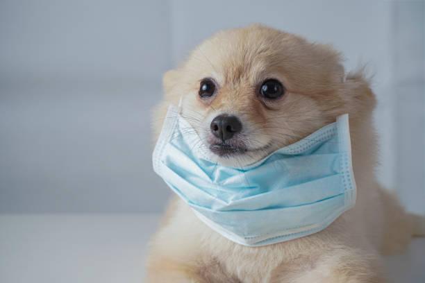 Small dog breeds or pomeranian with brown hairs crouch or lying down picture id1209791344?b=1&k=6&m=1209791344&s=612x612&w=0&h=htbyfokz6pywc rolxenegeojk2b30volcshoxdg 7g=