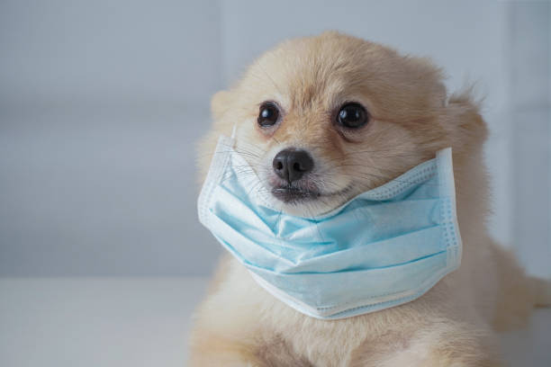 small dog breeds or pomeranian with brown hairs crouch or lying down on the white table with white background and wearing mask for protect a pollution pm2.5 or covid-19 disease - prevenzione delle malattie foto e immagini stock