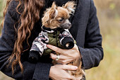 istock small dog chihuahua in the girl's hands 1160699412