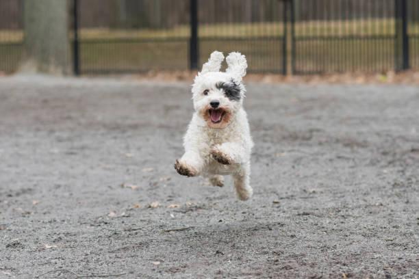 cão de pequeno porte voando no parque - em êxtase - fotografias e filmes do acervo
