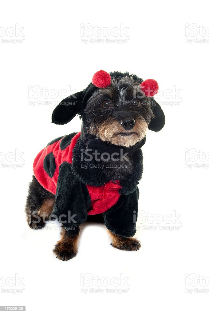 Small dog in a costume royalty-free stock photo