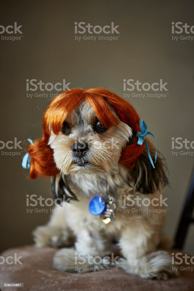 Small dog in a wig stock photo