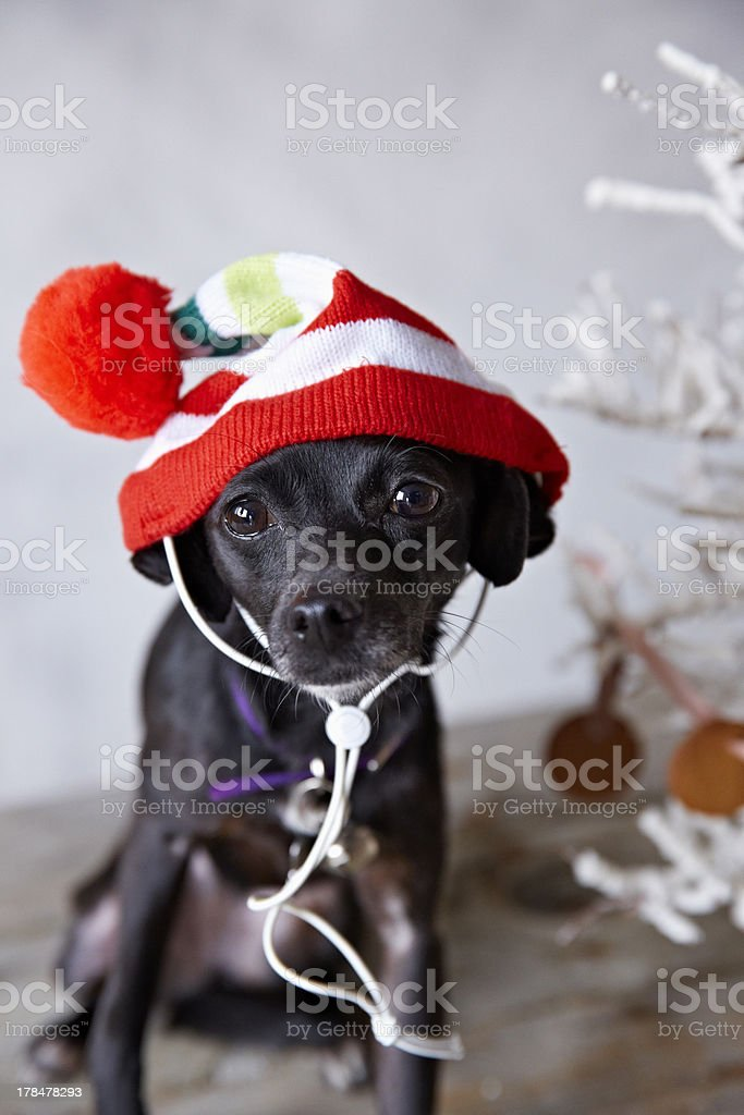 Small dog in Christmas hat royalty-free stock photo