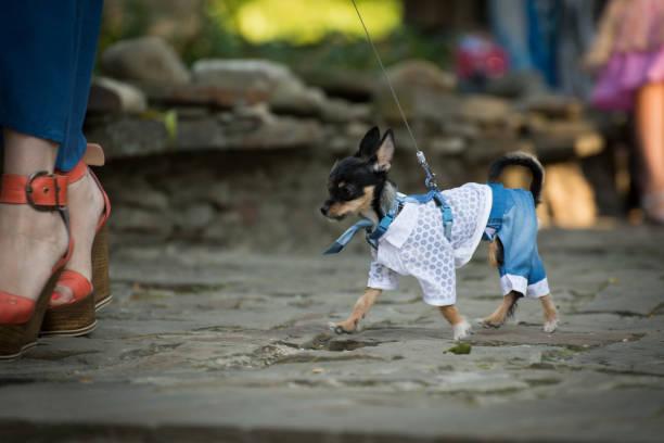 ein kleiner hund in der kleidung. - festliche kleider kindermode stock-fotos und bilder