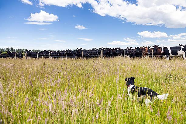 Kleine Hund in Feld bei Molkerei Kühe – Foto