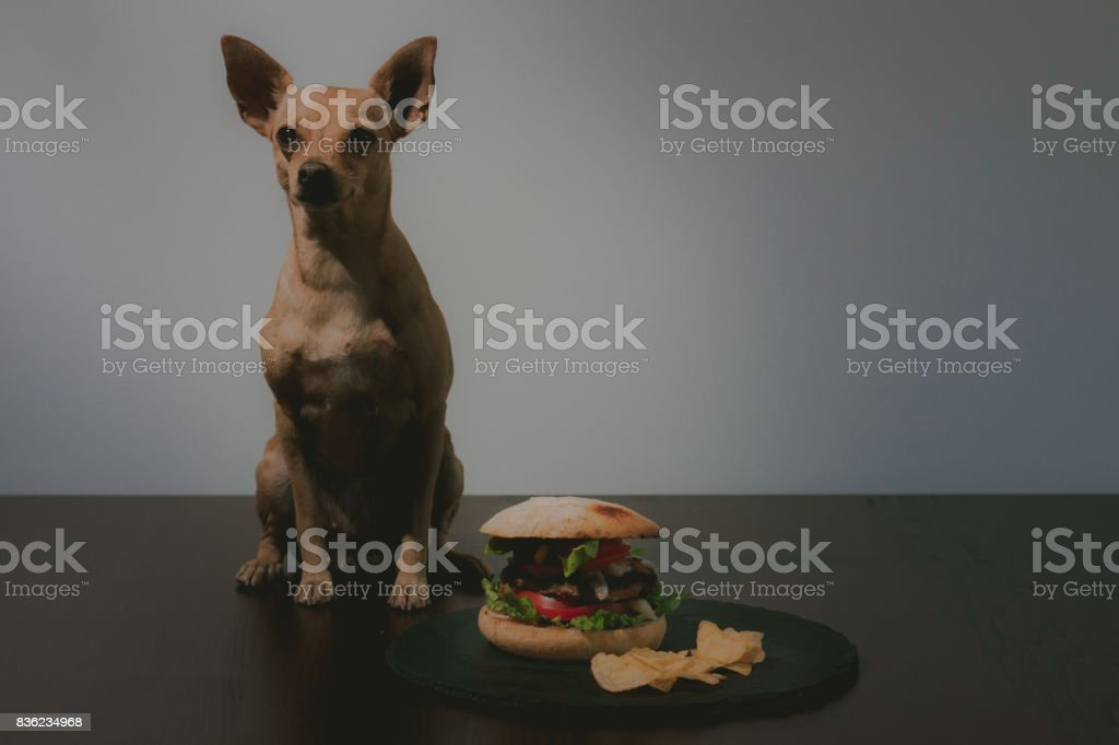 Small dog in front of delicious burger stock photo