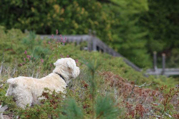 kleiner hund in freier wildbahn - sealyham terrier stock-fotos und bilder