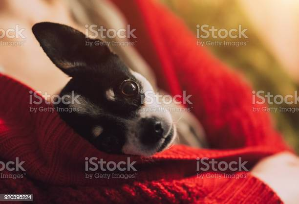 Small dog is heated under the mistresss jacket young girl is resting picture id920395224?b=1&k=6&m=920395224&s=612x612&h=1sw08 wuqae 3lmvad5bovthmxohyvlbsnu0uyziyr4=