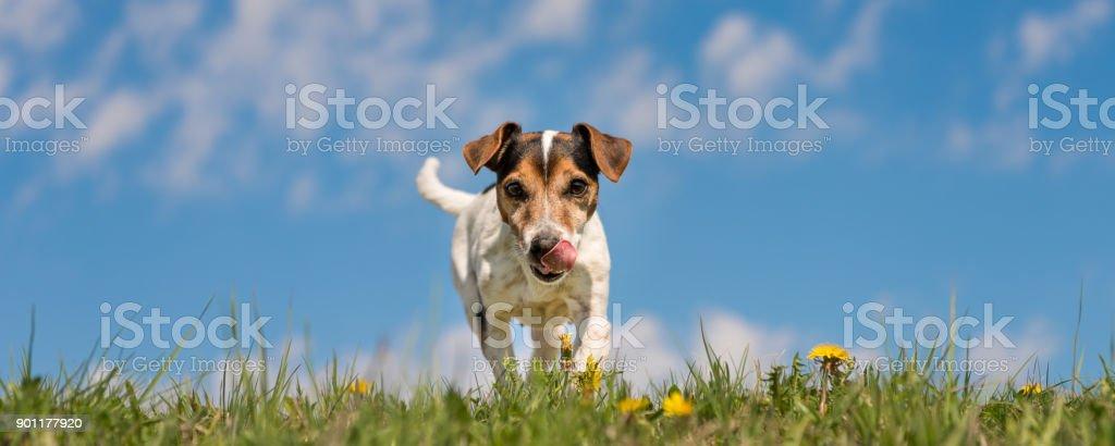Kleiner Hund läuft über grüne Wiese mit Löwenzahn im Frühling - Frisur glatt - Jack-Russell-10 Jahre alt – Foto