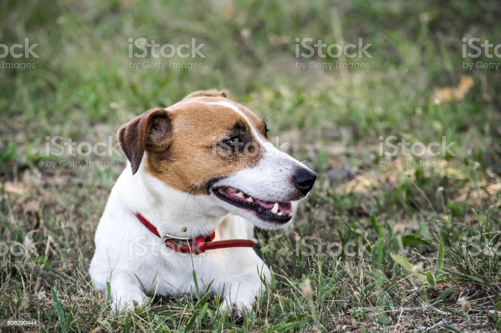 Un pequeño perro Jack Russell Terrier tumbado sobre la hierba verde. Una mascota descansa - foto de stock