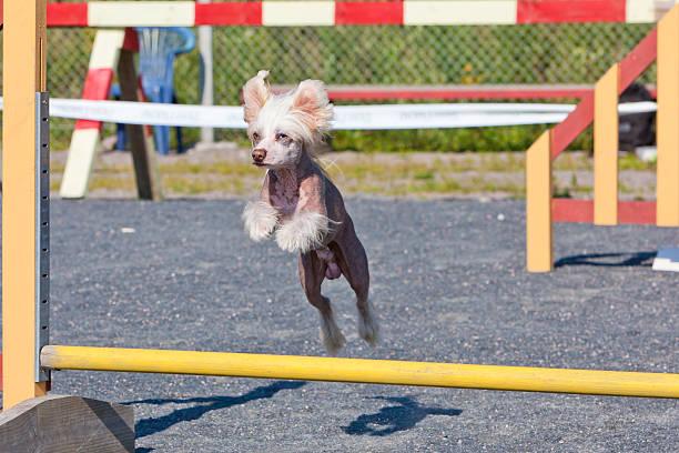 kleiner hund springen hindernis mehr beweglichkeit - chinesische schopfhunde stock-fotos und bilder