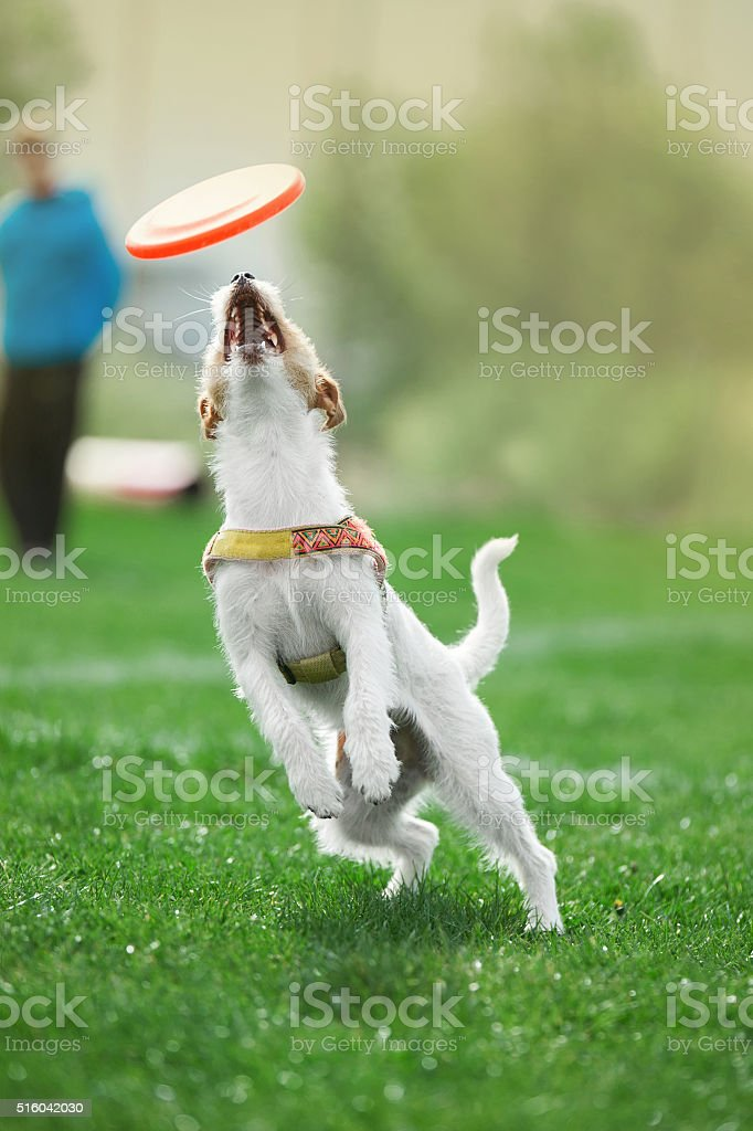 small dog jumps to catch the plastic disk stock photo
