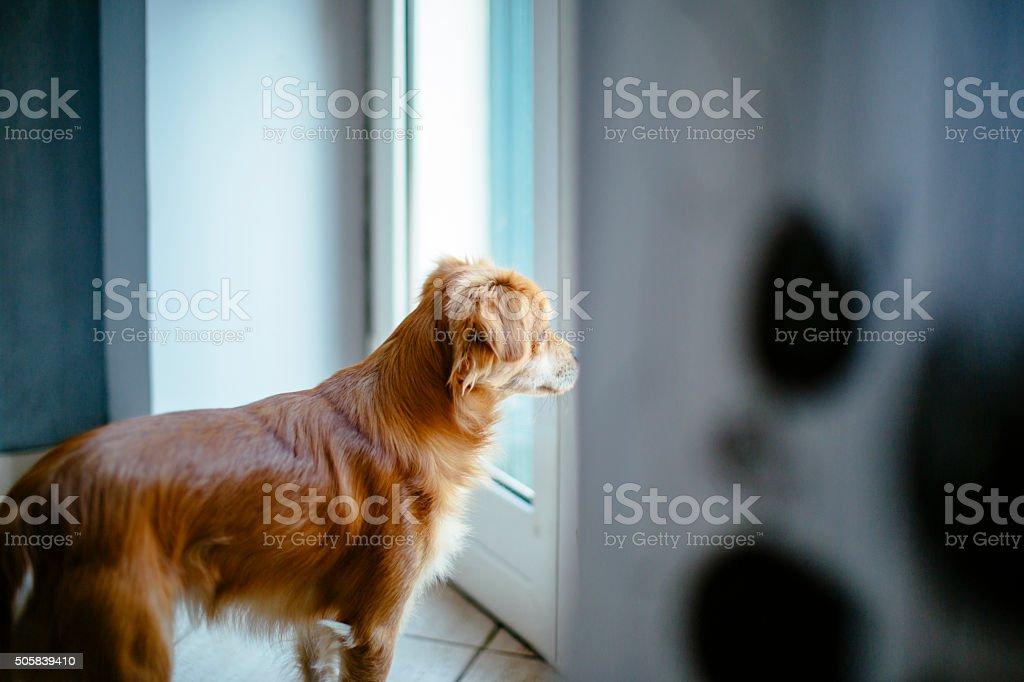 Kleiner Hund Blick durchs Fenster – Foto