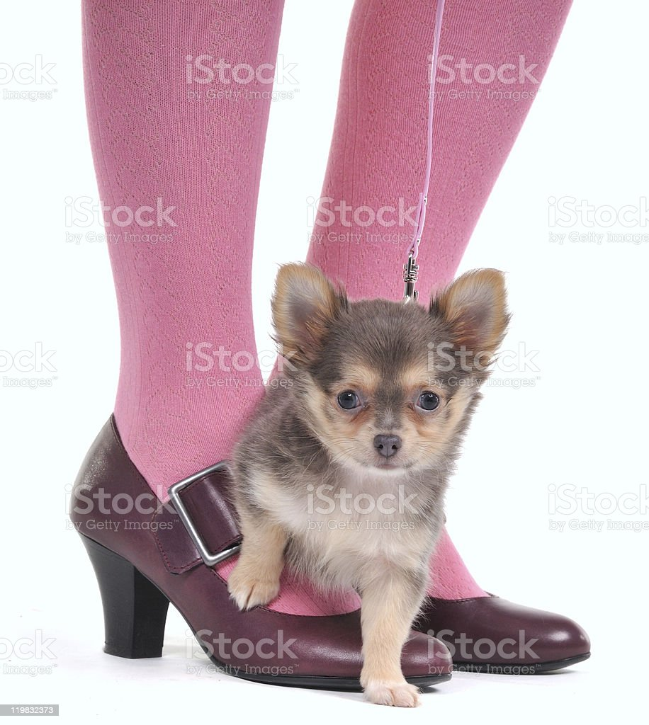 Small Dog on the Woman's feet royalty-free stock photo