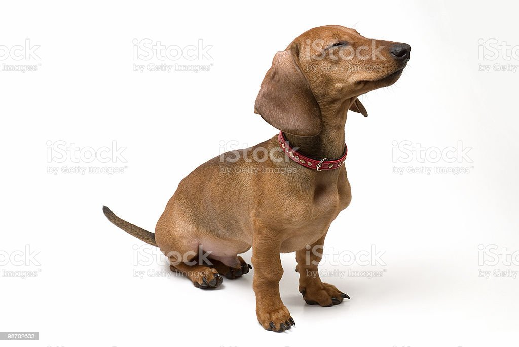 Piccolo cane foto stock royalty-free