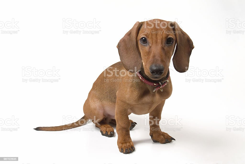 Small dog royalty-free stock photo
