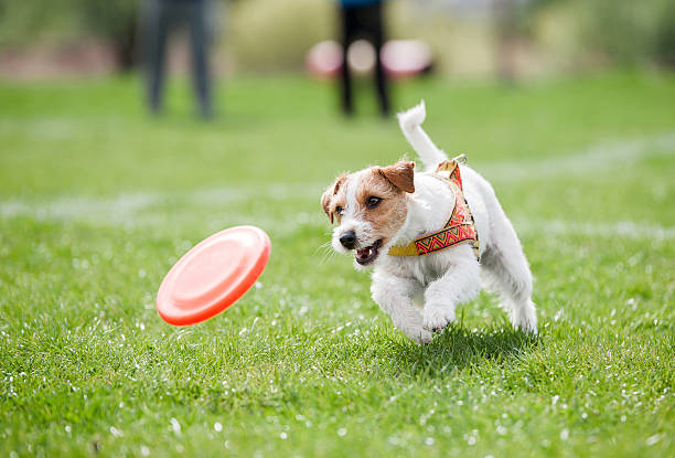 small dog playing with disk Jack Russell Terrier running on the grass after orange plastic disc  catching stock pictures, royalty-free photos & images