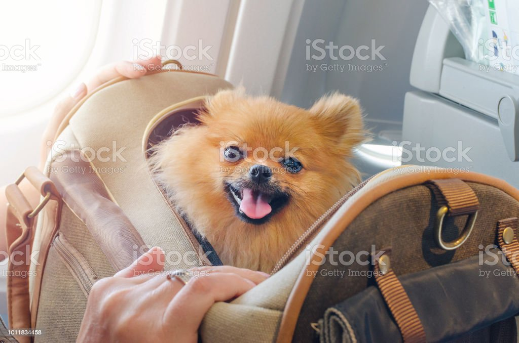 small dog pomaranian spitz in a travel bag on board of plane, selective focus royalty-free stock photo