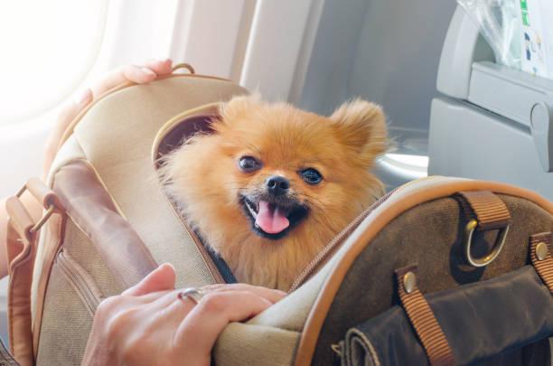 kleine hond pomaranian spitz in een zak van de reis aan boord van vliegtuig, selectieve focus - instappen stockfoto's en -beelden