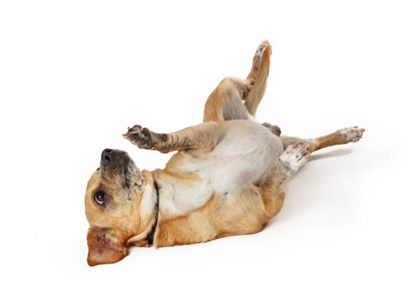 Small Dog Rolling Onto Back stock photo